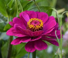 Zinnia (MJ Harbey) Tags: flower zinnia purplezinnia eudicot asterales helianthodae canonsashby northamptonshire nationaltrust nikon d3300 nikond3300