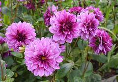 Dahlias (MJ Harbey) Tags: flower dahlias pinkdahlias eudicot asterales helianthodae canonsashby nationaltrust northamptonshire nikon d3300 nikond3300