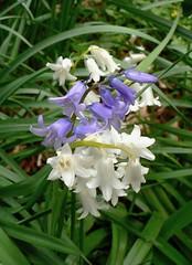 Jacinthe des bois  (hyacinthoides non-scripta) (pierre.pruvot2) Tags: végétaux lumixfz5 panasonic jardin garden flowers fleurs hautsdefrance pasdecalais guînes