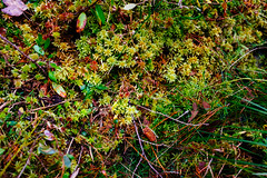 Moss (reclaimednj) Tags: 2019 pinelands pinebarrens autumn hike batonatrail nj newjersey burlingtoncounty bassrivertownship