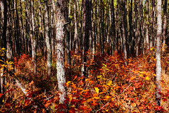 Autumn colors (reclaimednj) Tags: 2019 pinelands pinebarrens autumn hike batonatrail nj newjersey burlingtoncounty bassrivertownship