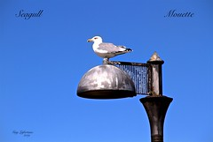 SEABIRD on a LAMP in PORTOSCUSO, SARDEGNA, ITALY (Guy Lafortune) Tags: bird seabird mouette lamp lampadaire bleu ciel sky blue bec beak aile wing yeux eye eyes day sunny clear ensoleillé clair jour queue tail portoscuso sardegna sardaigne sardinia black grey white noir gris blanc gull closeup macro relax relaxing repos reposant butt italia italy italie waterbird 2019