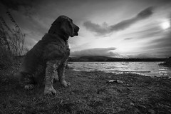 Winter is coming (Anthony_Murray) Tags: cocker spaniel blessington lakes wicklow mountains water shore clouds dog leaves autumn ireland