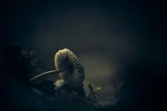 The Fallen (micke.vmix) Tags: carlzeiss zeiss aposonnart2135 sonnar135f2zf d850 mushroom