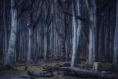Waldgeister (Petra Runge) Tags: woodland trees beeches gespensterwaldnienhagen buchen bäume wald dunkel dark germany