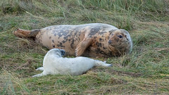 Donna Nook (Brian Negus) Tags: autumn saltmarsh nature lincolnshirewildlifetrust selcow donnanook cow november wildlife seal marine sealife breeding marshland pup coast sealpup lincolnshire