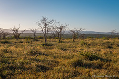 Soft Light on the Savannah (Evocative Photos) Tags: africa dry palebluesky landscape nopeople nature people savannah bush browngrasses hot plains shadows gamepreserve sagebrush southafrica stark travel reserve parched mountainsindistance deserted safari emptylot tourism places deadtrees