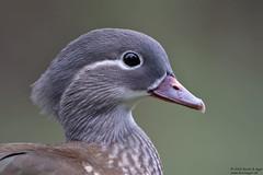 Photo of Mandarin Duck female, Aix galericulata