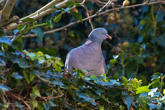 Tuinvogels (Cheetah_flicks) Tags: duif animals bird commonwoodpigeon dieren houtduif huis nature natuur tuin vogel vrijenatuur wildlife