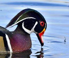 Wood Duck (jt893x) Tags: 150600mm aixsponsa bird d500 drake duck jt893x male nikon nikond500 portrait sigma sigma150600mmf563dgoshsms waterfowl woodduck