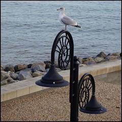 gull, lamp-post, Lyme Regis (Philip Watson) Tags: lymeregis dorset seaside westdorset gull seagull lamppost beach