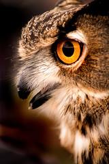 Owl Profile 3-0 F LR 11-10-19 J187 (sunspotimages) Tags: animal animals bird birds owl owls nature wildlife