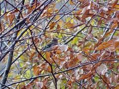 Chaffinch, Blaen Bran, Upper Cwmbran 13 November 2019 (Cold War Warrior) Tags: chaffinch cwmbran blaenbran