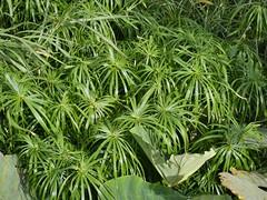 Cyperus involucratus Rottb. - Umbrella Sedge (Peter M Greenwood) Tags: cyperusinvolucratus umbrellasedge cyperus involucratus umbrella sedge