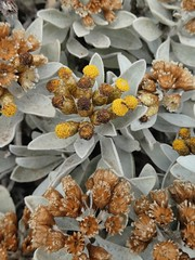Helichrysum obconicum DC. (Peter M Greenwood) Tags: helichrysumobconicum helichrysum obconicum