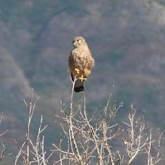 Falco tinnunculus canariensis (Koenig, 1890) - Canarian Kestrel (Peter M Greenwood) Tags: falcotinnunculuscanariensis canariankestrel falco tinnunculus canariensis canarian kestrel