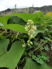 Sechium edule (Jacq.) Sw. - Chayote (Peter M Greenwood) Tags: sechiumedule chayote sechium edule