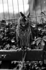 A wather angwy wabbit owl (mkk707) Tags: film analog 35mmfilm germancameras filmcamera vintagelens vintagefilmcamera leicam3 leicasummicronm50mmf2dr ilfordfp4 wwwmeinfilmlabde blackwhite bird owl