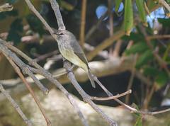 African Dusky Flycatcher (randy.siebert) Tags: southafrica
