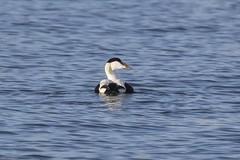 Eider Duck (Tenspeed2) Tags: eider duck