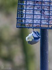 Tuinvogels (Cheetah_flicks) Tags: animals bird dieren huis mees nature natuur pimpelmees tuin vogel vrijenatuur wildlife