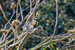 Tuinvogels (Cheetah_flicks) Tags: animals bird dieren huis koolmees mees nature natuur pimpelmees tuin vogel vrijenatuur wildlife