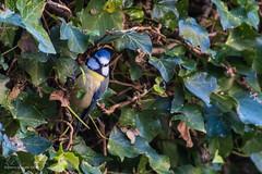 Tuinvogels (Cheetah_flicks) Tags: instagram animals bird dieren fotoprojectjes huis mees nature natuur pimpelmees projects tuin vogel vrijenatuur wildlife