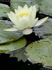 Sagesse (Céline Bizot-Zanatta Photographie) Tags: fleur feuilles feuillages eau water pond mare lotus blanc white vert green focus closeup macro végétaux végétation verdure extérieur outside day journée célinebizotzanatta été summer