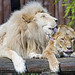 The couple of lions