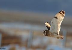 Short eared owl against snowy backdrop (Ted Humphreys Nature) Tags: shortearedowl owls raptors predators deeestuary tedhumphreysnature