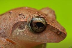 Waynad Bush Frog (harshithjv) Tags: macro frog amphibian anuran bush bushfrog waynadbushfrog pseudophilautus wynaadensis amphibia anura rhacophoridae canon 80d tamron 90mm godox tt685c diffuser raynox dcr250 green