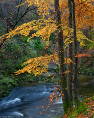 Living on the edge 2 (Donard850) Tags: northernireland countydown tollymoreforestpark trees shimnariver river autumn fall beechtrees landscape longexposure nikond810
