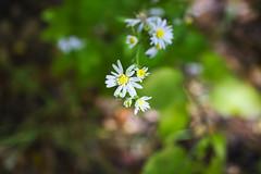 Wild White Aster?? (Bernie Emmons) Tags: arborhillsnaturepreserve arborhills wildflowers white green