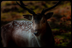 Such a beautiful animal. (pitkin9) Tags: makemesmile fallowdeer handsome beautiful wildlifephotography