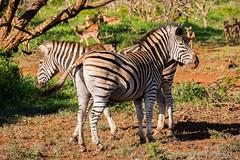 A Pair of Zebras (Evocative Photos) Tags: jungle naturesbeauty tail grazing bush zululand graze greengrass gamereserve zebra wildlife herbivore striped pair savanna africa safari animals southafrica horizontal places nature