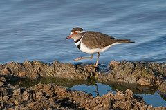 Three-banded Plover (alicecahill) Tags: africa wild southafrica ©alicecahill ngalaprivategamereserve bird plover sonya9 threebandedplover animal