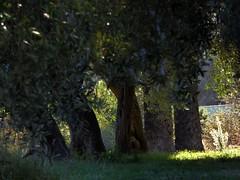 ulivi a novembre (fotomie2009) Tags: flora trees alberi ulivi olive 5 five cinque november autumn autunno