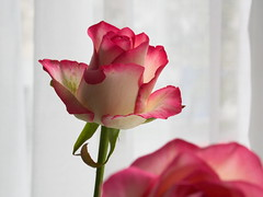 my daily flower (Elisabeth patchwork) Tags: pink rose flower