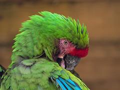 Bashful parrot (ORIONSM) Tags: parrot shy blushing bashful nature bird portrait olympus omdem1 olympus40150mmprof28