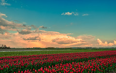 The tulips went all out to see the big clouds. (Alex-de-Haas) Tags: 1635mm d500 dutch europa europe holland nederland nederlands netherlands nikkor nikkor1635mm nikon nikond500 noordholland schoorldam agriculture akkerbouw beautiful beauty bloemen bloemenvelden boerenland bollenvelden bulbfields cloud clouds cloudscape farmland farming flowerfields flowers landbouw landscape landscapephotography landschaft landschap landschapsfotografie lente lucht mooi polder pracht schoonheid skies sky spring sundown sunset tulip tulips tulp tulpen wolk wolken zonsondergang warmenhuizen northholland