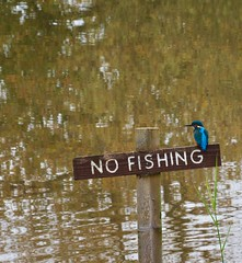 Kingfisher (Alcedo atthis) (john.freshney) Tags: gb british britain uk bird park country valley severn shropshire alveley bridgnorth kingfisher alcedoatthis