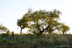 Tree in the African Bush (Evocative Photos) Tags: track dry palebluesky deadtree goldenlight bush savannah shadows summer savanna tree reserve journey trip horizontal places view safari fadingsunlight palelight conservation trunk outdoors wildlife vacation natural scenery field sky trees scene africa southafrica solitude travel landscape nature green grassland park rugged tourism wilderness branch