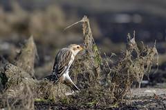 Snow Bunting (Corine Bliek) Tags: plectrophenaxnivalis vogel vogels migrants trekvogels winter bird birds nature wildlife natuur