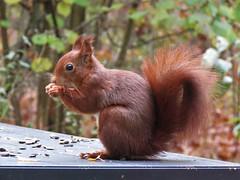 squirrel (gerben more) Tags: squirrel rodent animal netherlands nederland