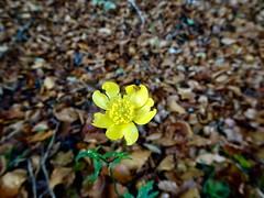 Creeping Buttercup, Blaen Bran, Upper Cwmbran 13 November 2019 (Cold War Warrior) Tags: buttercup ranunculus cwmbran blaenbran