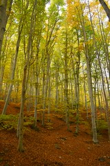Faldas del Moncayo (thoskar) Tags: naturaleza nature autumn otoño bosque forest tree arbol haya zaragoza moncayo hayedo