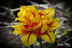 Tulip Monsella (robtm2010) Tags: buffalo newyork usa canon canon7d 7d flower flowers tulips garden tulipmonsella tulip flowerscolors