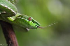 Trimeresurus stejnegeri (Fernando_Iglesias) Tags: taiwan viper green pit venomous snake reptil serpiente vibora herping macro viridovipera