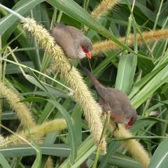 Estrilda astrild (Linnaeus, 1758) - Common waxbill (Peter M Greenwood) Tags: estrildaastrild commonwaxbill estrilda astrild common waxbill