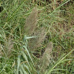 Arundo donax L. (Peter M Greenwood) Tags: arundodonax arundo donax